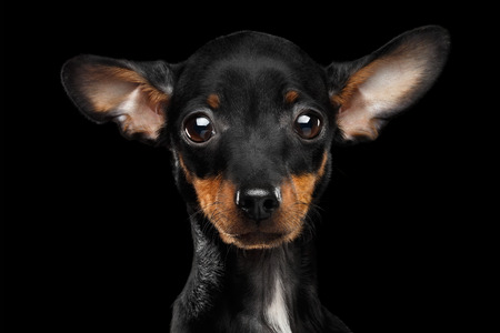 toyterrier: Closeup Sadly Toy Terrier Puppy Looking in Camera Isolated on Black Background