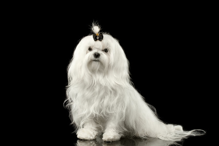 front raise: Portrait of Serious White Maltese Dog Sitting Looking in Camera isolated on Black background