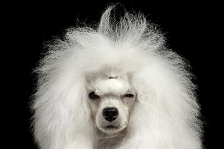 squinting: Closeup Portrait of Shaggy Hair Poodle Dog Squinting Looking in Camera Isolated on Black Background Stock Photo
