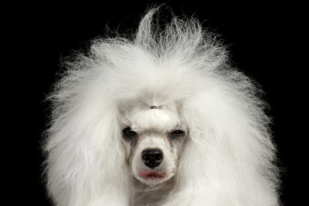 squinting: Closeup Portrait of Shaggy Weeping Poodle Dog Squinting Looking in Camera Isolated on Black Background
