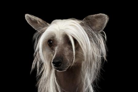 Close-up portret van de Chinese Crested hond op te zoeken in de voorkant van geïsoleerde zwarte achtergrond Stockfoto