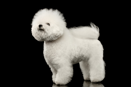bichon: Purebred white Bichon Frise Dog Standing and Looking up isolated Black Background Stock Photo
