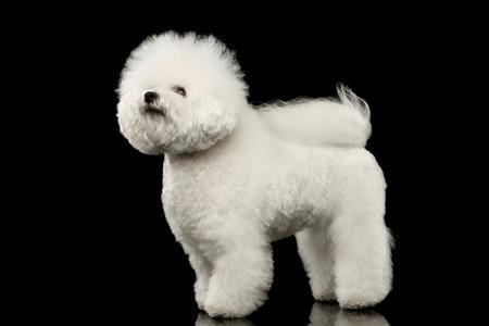 Rasechte witte Bichon Frise-Hond die en geïsoleerde Zwarte Achtergrond bevinden eruit zien