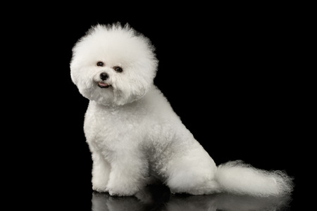 Purebred White Bichon Frise Dog Smiling, Sitting and Looking in Camera isolated Black Background, Side view