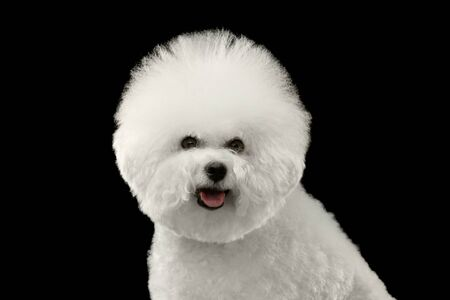 bichon: Closeup Portrait of Purebred White Bichon Frise Dog happy looking in Camera isolated Black Background Stock Photo