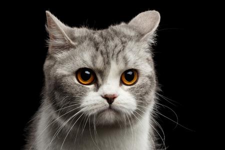 scottish straight: Closeup Portrait of Gray Scottish Straight Cat Looks Pained Isolated on Black Background