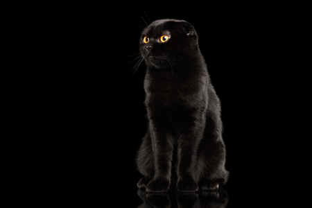 curiously: Black Scottish Fold Cat with Yellow eyes Sitting and Looks Curiously Isolated on Black Background, Front view