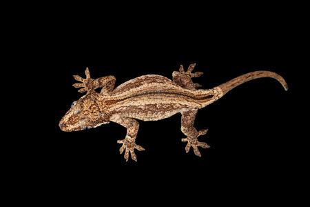 gargouille: Top view of Gargoyle Gecko, Rhacodactylus auriculatus staring Isolated on black background. Native to New Caledonia