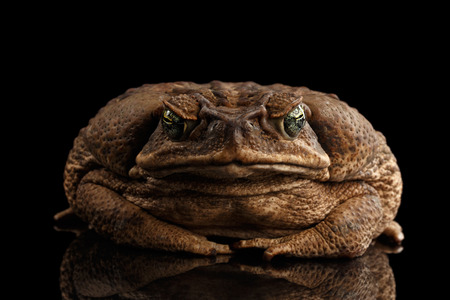 bufo toad: Cane Toad - Bufo marinus, giant neotropical or marine toad Isolated on Black Background, front view
