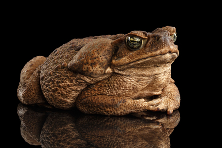 anuran: Cane Toad - Bufo marinus, giant neotropical or marine toad Isolated on Black Background Stock Photo