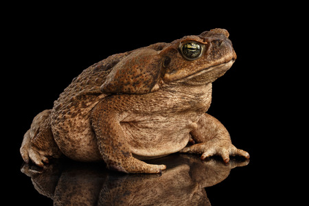 bufo toad: Cane Toad - Bufo marinus, giant neotropical or marine toad Isolated on Black Background Stock Photo