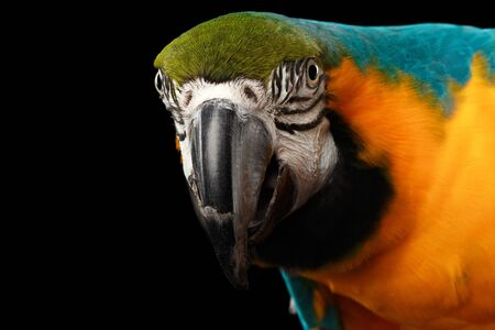 blue face: Closeup Portrait of a Blue and Yellow Macaw Parrot Face Isolated on Black Background