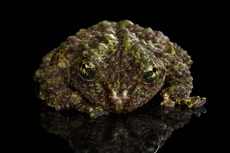 cryptic: Vietnamese Mossy Frog, Theloderma corticale or Tonkin Bug-eyed Frog, Isolated on Black background