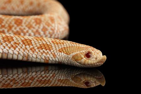 albino: Closeup Pink pastel Albino Western Hognose Snake, Heterodon nasicus isolated on black background