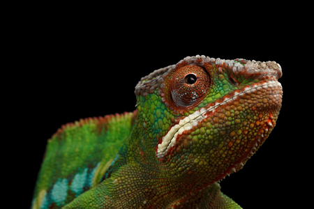 black panther: Closeup Head of Panther Chameleon, reptile with colorful body Isolated on Black Background