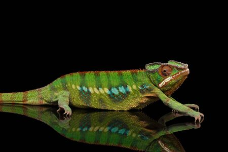 sneaking: Sneaking Panther Chameleon, reptile with colorful body on Black Mirror, Isolated Background Stock Photo