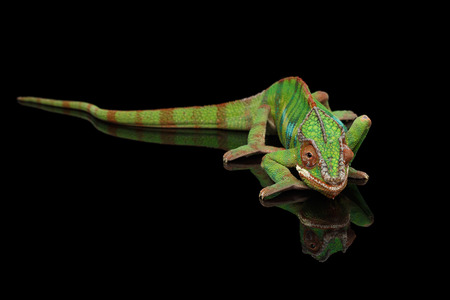 black panther: Panther chameleon resting on Black Mirror with tail , Isolated Background