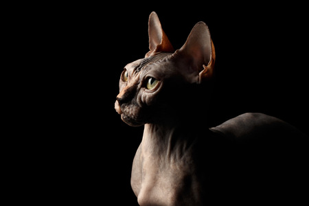 Closeup Portrait of Interesing Sphynx Cat with Yellow eyes Profile view Isolated on Black Background Stock Photo