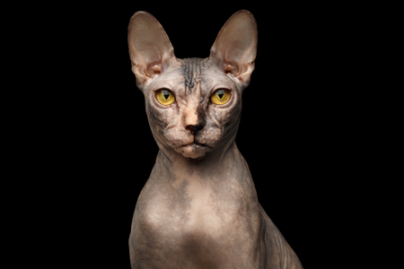 grumpy: Closeup Portrait of Grumpy Sphynx Cat with Yellow eyes Front view Isolated on Black Background Stock Photo