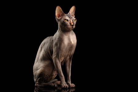 nobleness: Adorable Sphynx Cat Sitting Curious Looks Isolated on Black Background, Front view