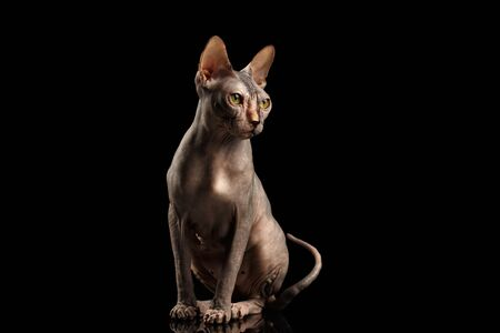 nobleness: Gorgeous Sphynx Cat Sitting Curious Looks Isolated on Black Background, Front view