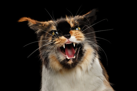 hiss: Aggressive Hiss Maine Coon Cat, Looking in Camera Isolated on Black Background