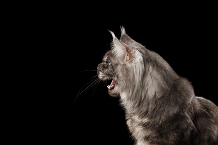 Close-up Portrait of Angry Meowing Maine Coon Cat With Opened Mouth Isolated on Black Background, Side view