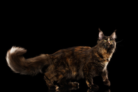 furry tail: Brown Maine Coon Cat Walking with Furry Tail and Looking up Isolated on Black Background, Side view