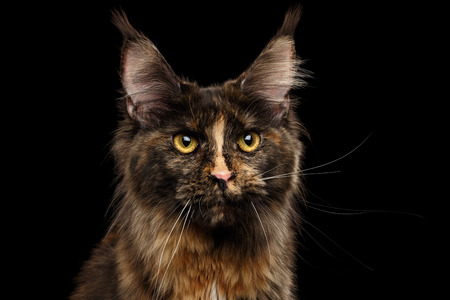 Closeup Portrait of Maine Coon Cat Gaze Looks Isolated on Black Background, Front view