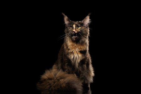 meowing: Brown Maine Coon Cat Sitting and Meowing Isolated on Black Background, Front view Stock Photo