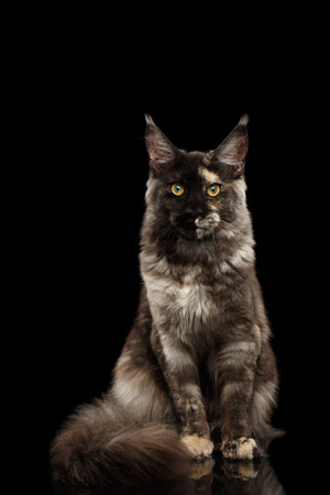 furry tail: Maine Coon Cat Sitting with Furry Tail and Looking in Camera Isolated on Black Background, Front view Stock Photo