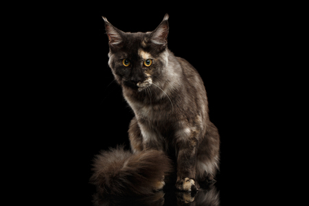 furry tail: Maine Coon Cat Sitting with Furry Tail and Looks Grumpy Isolated on Black Background, Front view Stock Photo