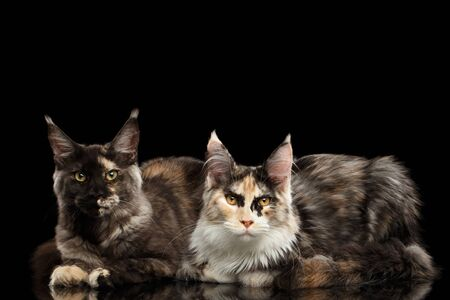 Two Maine Coon Cats Lying and Looking in Camera Isolated on Black Background Stock Photo