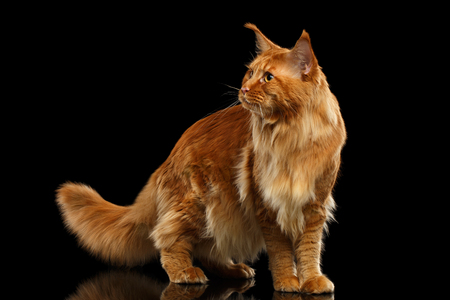 furry tail: Red Maine Coon Cat with Furry Tail Standing and Looks at Side Isolated on Black Background