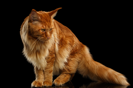 furry tail: Red Maine Coon Cat with Furry Tail Standing and Looking down Isolated on Black Background