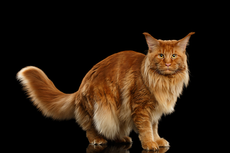 furry tail: Red Maine Coon Cat with Furry Tail Standing and Looking in Camera Isolated on Black Background, Side view