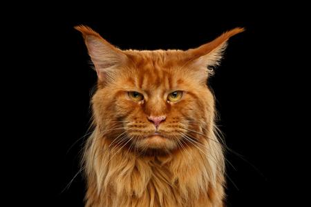 Close-up Portret Van Boze Rode Maine Coon Kat Met Grappige Chin Kijkt In Camera Geïsoleerd Op Zwarte Achtergrond Stockfoto