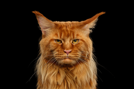 Close-up Retrato de Angry Red Maine Coon Cat con Funny Chin se ve en la cámara aislada sobre fondo negro Foto de archivo