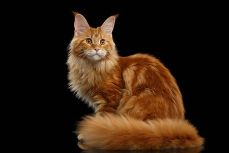 furry tail: Beautiful Red Maine Coon Tabby Cat Sitting with Large Ears and Furry Tail Looking in Camera Isolated on Black Background, Side view Stock Photo