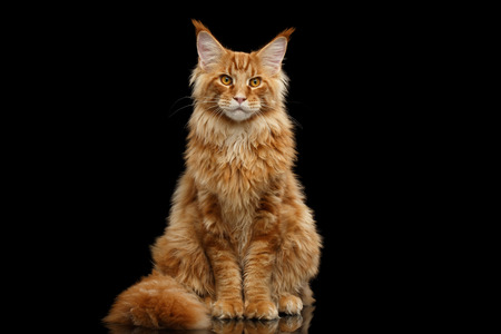 furry tail: Beautiful Red Maine Coon Cat Sitting with Large Ears and Furry Tail Looking in Camera Isolated on Black Background, Front view