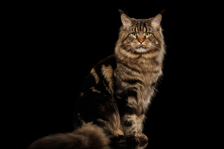 furry tail: Big Maine Coon Cat Sitting with furry tail and Looking in Camera Isolated on Black Background, Front view