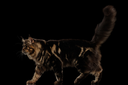 cat walk: Beautiful Large Maine Coon Cat Walk with furry tail Isolated on Black Background, Side view Stock Photo