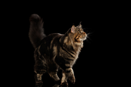 furry tail: Beautiful Large Maine Coon Cat Walk with furry tail Isolated on Black Background, Front view