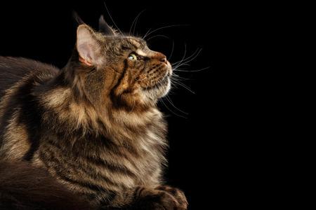 Close-up portret van Maine Coon Cat Liegen en opzoeken van geïsoleerde op zwarte achtergrond, profiel te bekijken Stockfoto