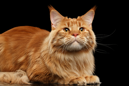 Close-up Ginger Maine Coon Cat Lying and Looking up Isolated on Black Background, Front view Stock Photo