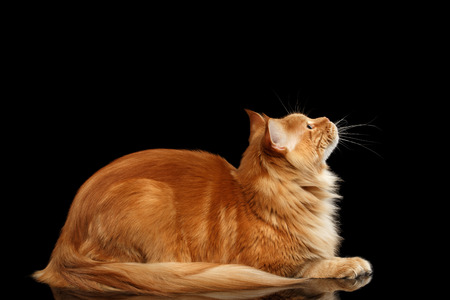 Ginger Maine Coon Cat Lying and Looking up Isolated on Black Background, Side view Stock Photo