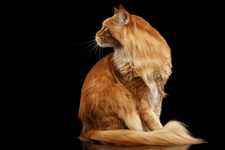 furry tail: Ginger Maine Coon Cat with Furry Tail Sitting and Curious Looking Back Isolated on Black Background, Profile view