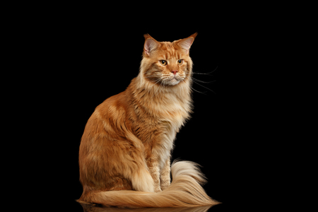 furry tail: Ginger Maine Coon Cat with Furry Tail Sitting and Curious Looks Isolated on Black Background, Front view