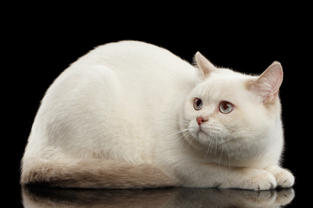 fearing: color-point British Shorthair Cat Lying and Fearing Looks up on Isolated Black Background, Side view