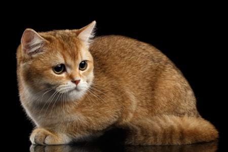 sadly: Cute British breed Cat Gold Chinchilla color Lying and Sadly Looks, Isolated Black Background, side view